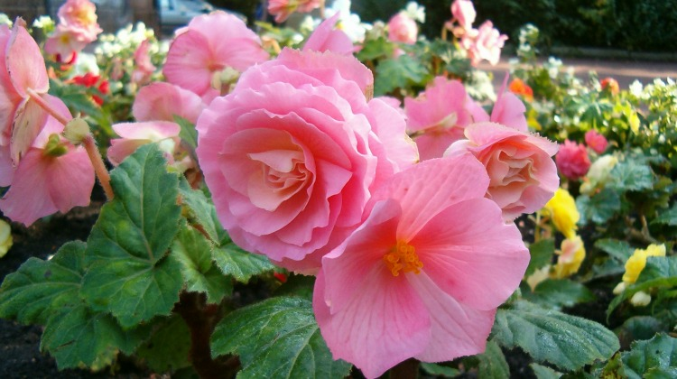 The Death Of The Ego and Begonia